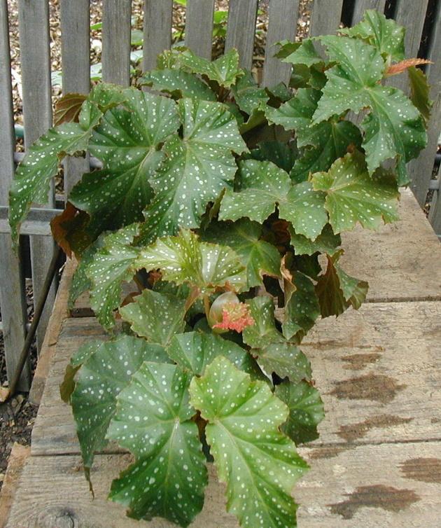 Begonia Elda Mae