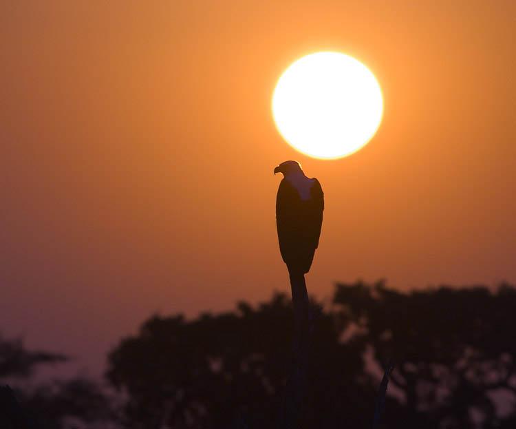 Kruger Park - African Fish Eagle