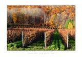 Vineyard - Annapolis Valley