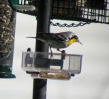 Yellow-throated Warbler, Dover, NH - February 5, 2005
