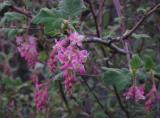 Currant Flowers - 12/19/03 -