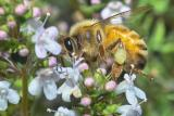 Bee on Thymus vulgaris 1