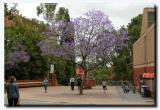 Jacaranda at Uni