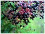 Costa Rica --Berries at Savegre