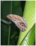 Caligo eurilochus sulanus, The Owl