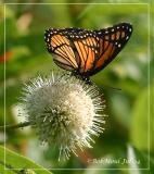 Common Buttonbush W/Viceroy