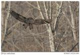 Chouette lapone / Great Gray Owl