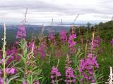 040_030 Fireweed above Anchorage - 1