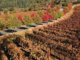 Vineyard and fall trees