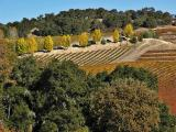 Vineyard and fall trees 2