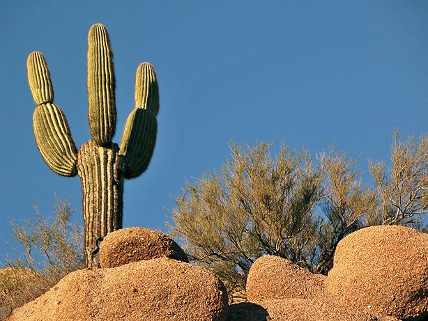 Saguaro on mountain