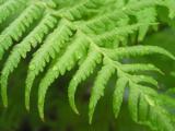 Australian Fern leaf