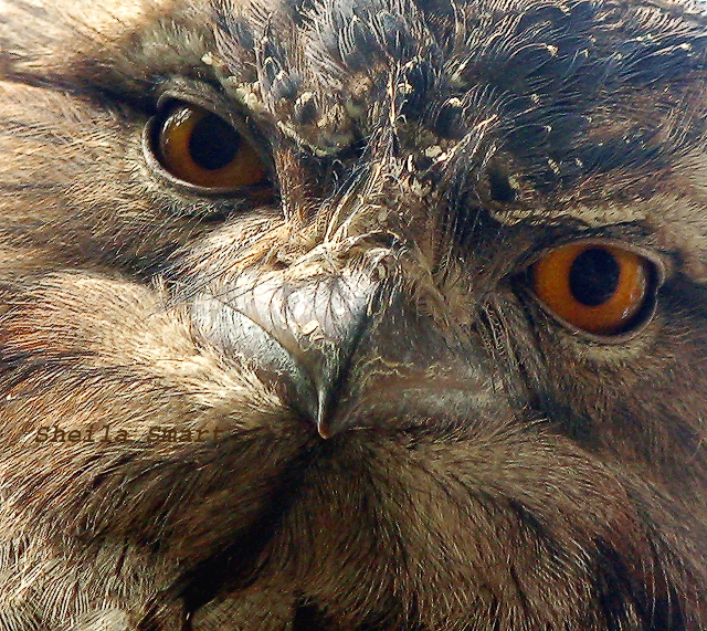 Very close tawnie frogmouth