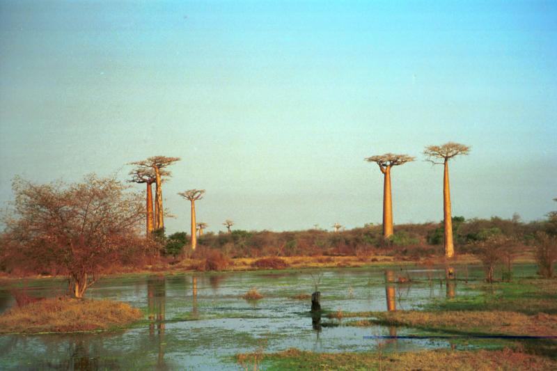 Baobabs and pond
