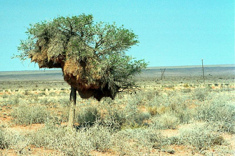 Weaverbird tree