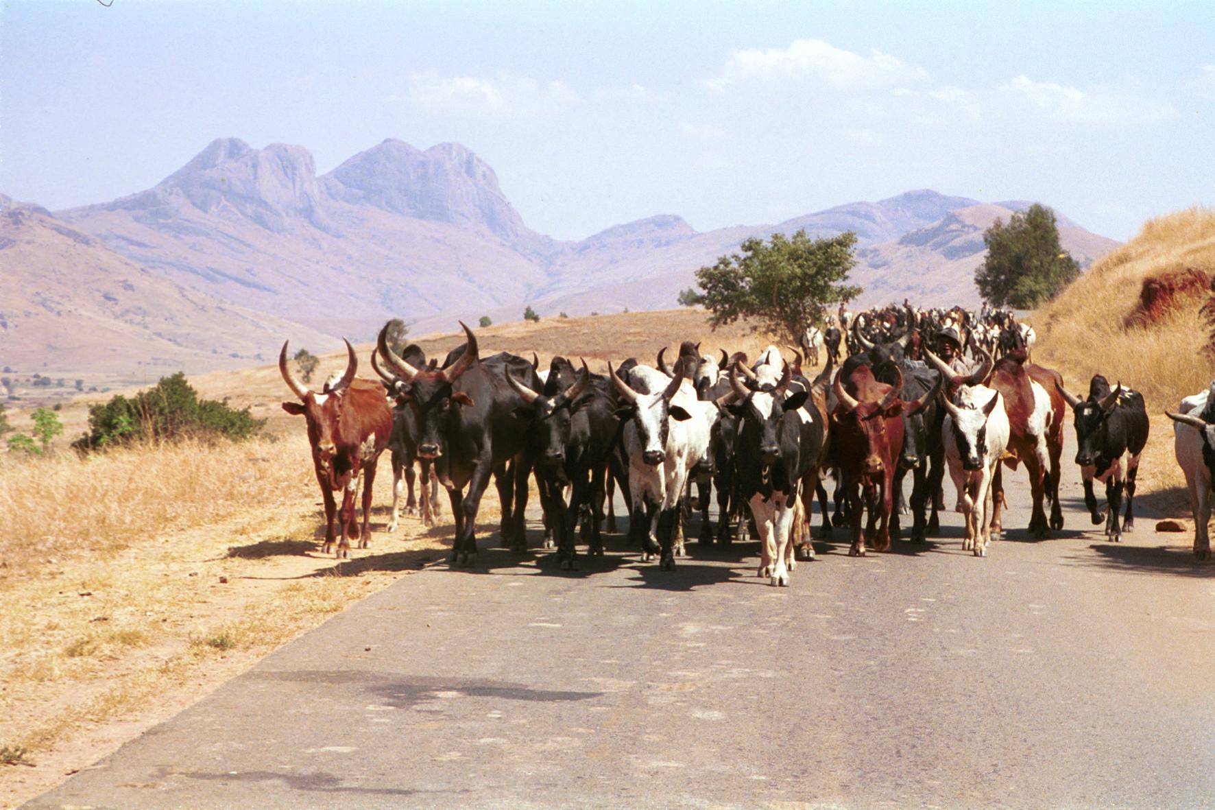 Herd of Zebu