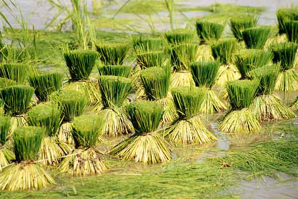 Rice drying, published by www.11.be