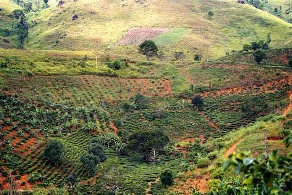 coffee-plantation-I-think.