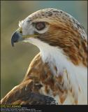 Red Tail ...