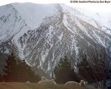 Sheep and mountain, South Island, New Zealand