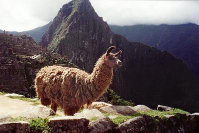 The head llama surveys the southeast portion of his domain.