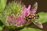Hoverfly (Scaeva pyrastri)