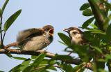 Sparrows raising their young