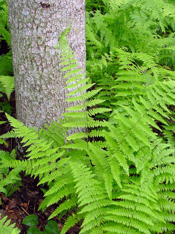 WV Tree and Fern 2003