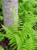 WV Tree  Fern 2003