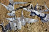Confusion Cranes.jpg