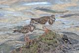 Ruddy Turnstones2.jpg