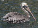 Brown Pelican2.jpg