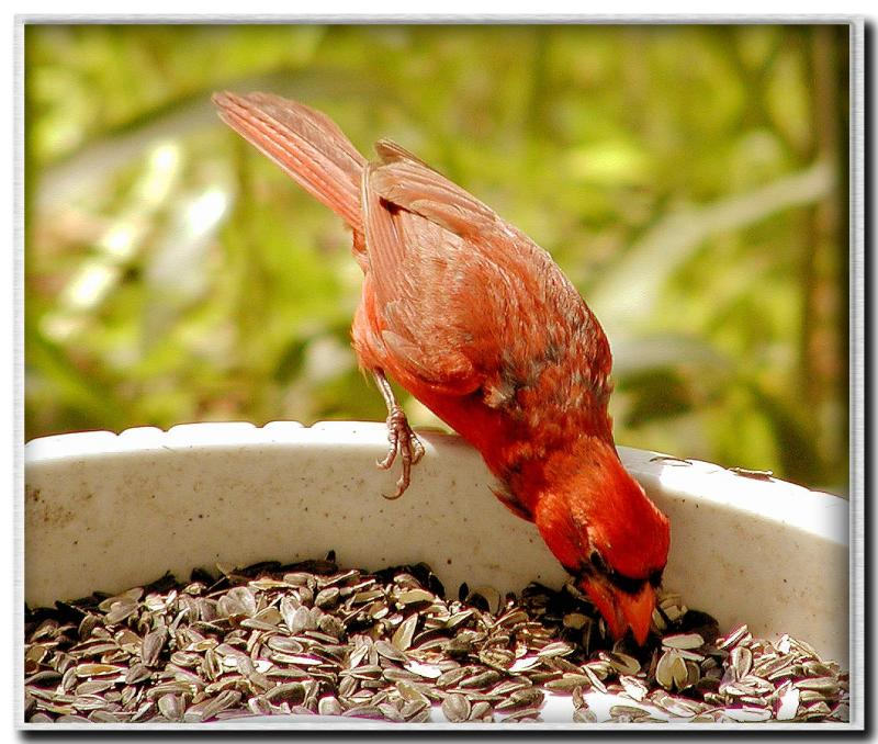 Male cardinal at my feeder.jpg