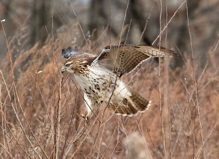 Juvenile Red-tailed Hawk-In-Brush