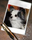 Brite Star Chihuahuas - Multiple Galleries