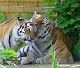 tigerkiss-sm.JPG