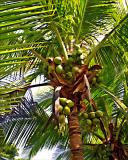 Coconut Palm 1