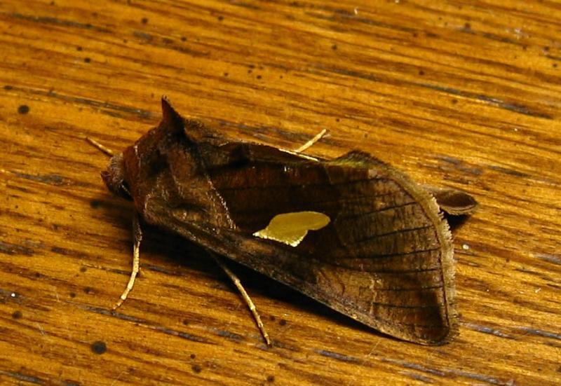Golden wing Moth