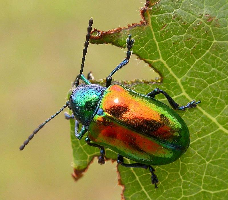 Chrysochus auratus  -- Dogbane Leaf Beetle