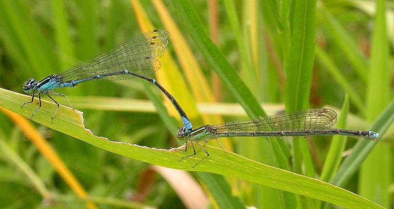 Stream Bluet damselfies -- <i>Enallagma exsulans</i>  --  mating