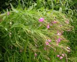 Hairy Willow-herb -- Epilobium hirsutum