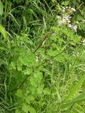 Meadow rue -- Thalictrum pubescens