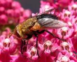 tachinid flies (possibly Archytas sp.) on Swamp Milkweed - 3