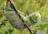 Hyalophora cecropia caterpillar