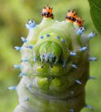 Hyalophora cecropia caterpillar --head