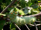 Hyalophora cecropia caterpillar on Rhamnus frangula