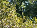 Howler Monkeys, snoozing in the mid-day sun