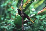 Crested Oropendola, Asa Wright, Trinidad
