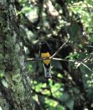 White-tailed Trogon. Asa Wright, Trinidad