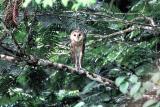Barn Owl, Trinidad